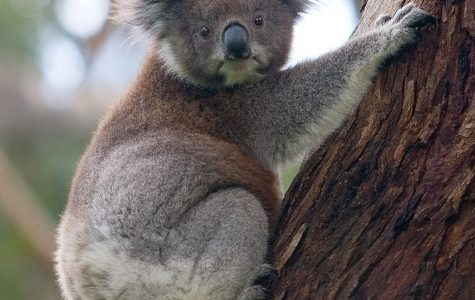 A future without koalas?