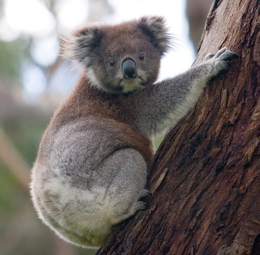 The koala population has been decimated after the Australian bushfires.